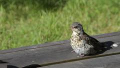 Fieldfare chick being fed twice Stock Footage