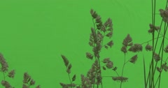 Apera, Windgrass, Tops of Weed Twigs Wavering Stock Footage