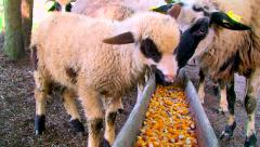 Sheep eats a corn from the feeders on the farm Stock Footage