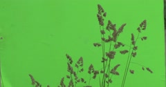 Apera, Windgrass, Tops of Weed Is Flutter Stock Footage