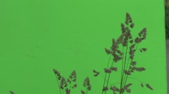 Tops of Apera Twig, Windgrass, Weed Is Wavering Stock Footage