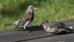 Fieldfare chick being fed worms on a wooden deck Stock Footage