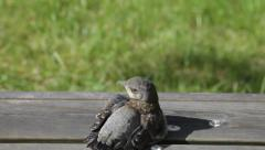 Fieldfare chick grooming itself Stock Footage