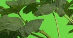 Green Plant With Big Leaves And Thick Stalk, Leaves Closeup, Swaying Stock Footage