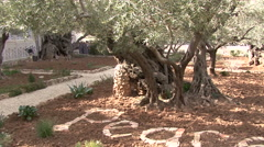 Garden of Gethsemane. Oliva. Stock Footage