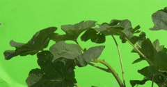 Green Plant With Big Leaves And Thick Stalk, Flutter Stock Footage