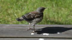 Fieldfare chick calling its parents Stock Footage