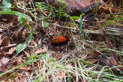 Red Palm Weevil insect on the ground - stock photo