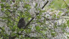 Fieldfare chick being fed worms in a flowering tree Stock Footage