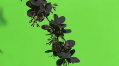 Branch With Purple Leaves is Swaying, Slow Motion Stock Footage