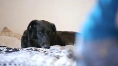 Black Dog Resting in Bed Watching People Passing By Stock Footage