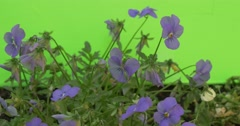 Blue Viola Tricolor Flowerbed, Green And Dry Stalks, Ground Stock Footage