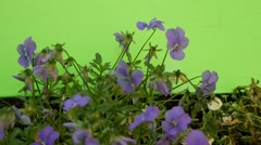 Blue Viola Tricolor Flowerbed, Green And Dry Stalks Stock Footage