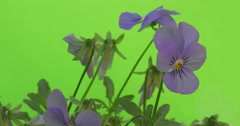 Few Viola Tricolor Blue Flowers, Faded Flowers, Closeup, Slow Motion Stock Footage