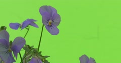 Few Viola Tricolor Blue Flowers Closeup Stock Footage