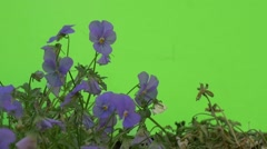 Group of Blue Viola Tricolor Are Fluttering, Slow Motion Stock Footage