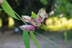 Thumbergia Laurifolia Flower. Stock Photos