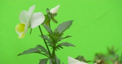 Viola Tricolor, White and Yellow Flower Stock Footage