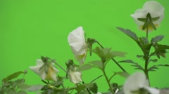 Viola Tricolor, Group of White Flowers, Backsides Stock Footage