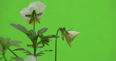 White Viola Tricolor, Backside of Single Flower Stock Footage
