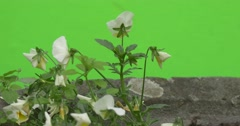 White Viola Tricolor, Flowerbed, Backside, Fluttering Stock Footage