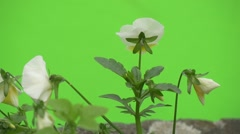 White Viola Tricolor, Group of Flowers, Backside, Fluttering, Slow Motion Stock Footage