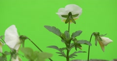 White Viola Tricolor, Group of Flowers, Backside, Fluttering Stock Footage