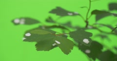Spiraea, Bush, White Petals on the Green Leaves, Fluttering Stock Footage