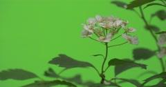 Spiraea, Bush,Branch, Poor Inflorescences of White Flowers Stock Footage