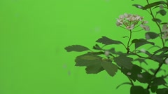Spiraea, Bush,Branch, White Flowers, Petals Are Falling Down, Slow Motion Stock Footage