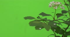 Spiraea, Bush,Branch, White Flowers, Petals Are Falling Down Stock Footage