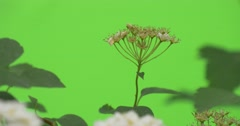 Spiraea, Top of The Bush,White Flowers,Shed Its Blossoms, Blurred Stock Footage