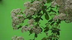 Spiraea, Bush,Branch, White Flowers, Slow Motion,Dark Stock Footage