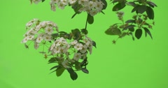 Spiraea, Bush,Green Leaves, White Flowers, Branch Down Stock Footage
