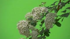 Spiraea,Bush, Branch, White Flowers, Wavering, Slow Motion Stock Footage