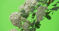 Spiraea,Bush, Branch, White Flowers, Wavering Stock Footage