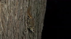 Flying squirrel clinging tree at night Stock Footage