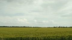 4K Summer Barley Crop Field under Stormy Sky 1 Stock Footage