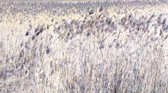 Reed beds Stock Footage