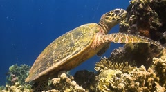 Turtle on a coral reef when eating Stock Footage