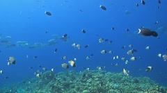 School of Trevallies and Butterflyfish Stock Footage