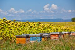 Beehives on the sunflower field in Provence, France - stock photo