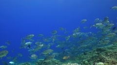 School of Jacks on a coral reef Stock Footage