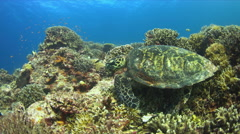 4k Hawksbill turtle swimming on a Coral reef Stock Footage