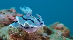Dorid Nudibranch Stock Footage