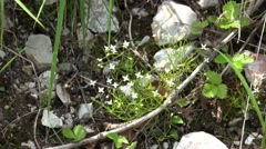 4k Tiny white flowers close up in Austria alp meadow Stock Footage