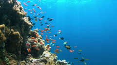 4k Coral reef with Anthias and Damselfishes Arkistovideo