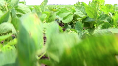 Soybean Field. The cultivation of soy. Agriculture Stock Footage