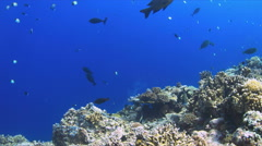 4k Coral reef with plenty fish - stock footage