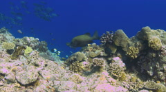 4k Harlequin sweetlips on a coral reef Stock Footage